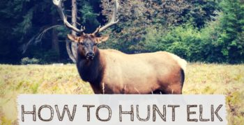 How to Hunt Elk in the Wild (Step-By-Step Guide)