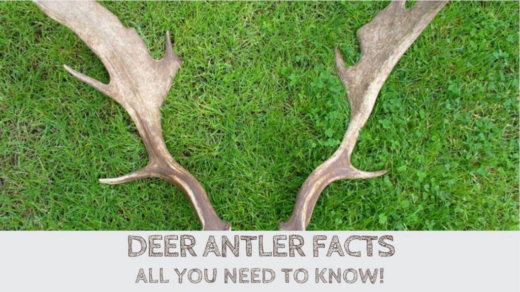 Deer Antler Facts