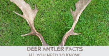Deer Antler Facts