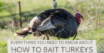 How to Bait Turkeys Like A Pro (Using Tools, Decoys and Calls)