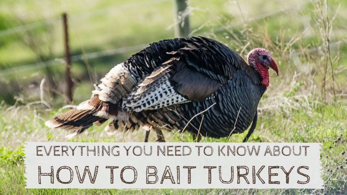 How to Bait Turkeys